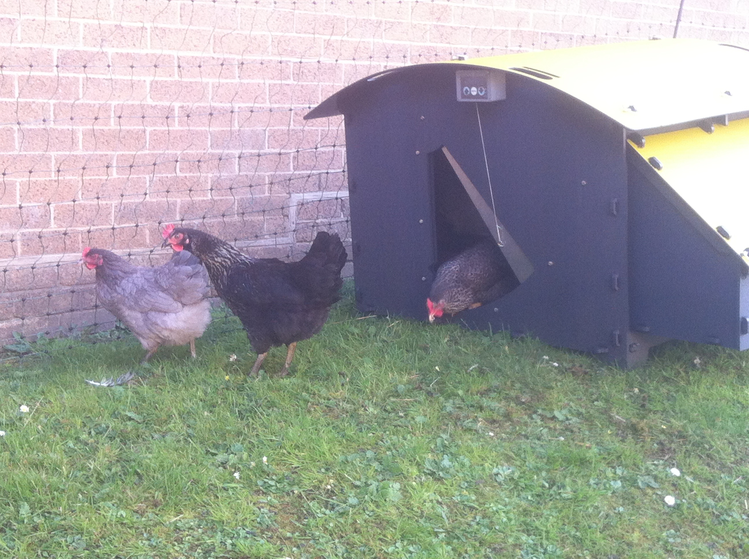 Hens discovering Blackhill
